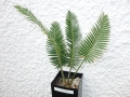 Dioon el camaron  ( Oxacensis ) 4cm Caudex