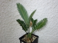 Dioon purpusii 3,5cm Caudex