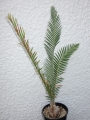 Dioon purpusii 7,5cm Caudex